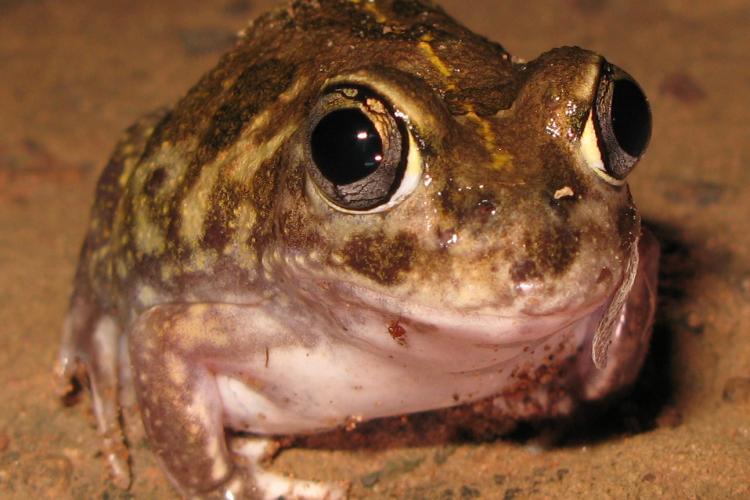 Neobatrachus